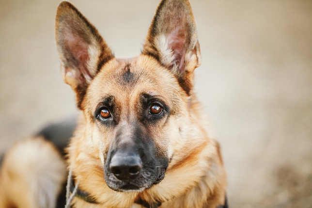 Brown German Shepherd Dog Close Up Portrait