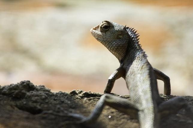 Oriental garden lizard (Calotes versicolor) in profile.